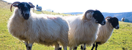 The sheep of Donegal Socks